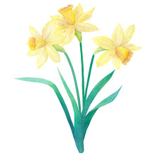 Spring Bouquet Of Bright Yellow Daffodils Or Narcissus And Leaves. Three Flowers. Hand Drawn Watercolor Illustration. Isolated On White Background.