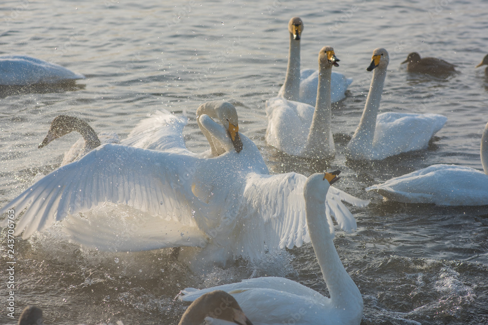 Fighting white whooping swans swimming in the nonfreezing winter lake. The place of wintering of swans, Altay, Siberia, Russia.