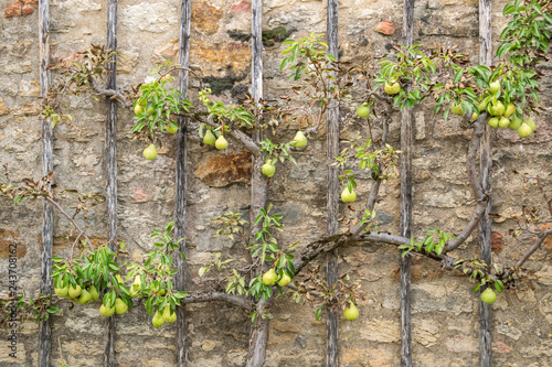 Pear Tree climbing old stone wall- Alternativ Gardening