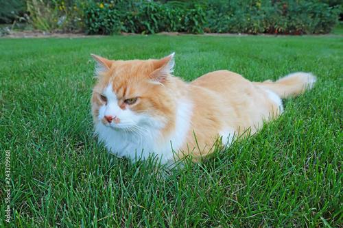 Fotografie, Obraz  Orange and white domestic longhair cat in the grass