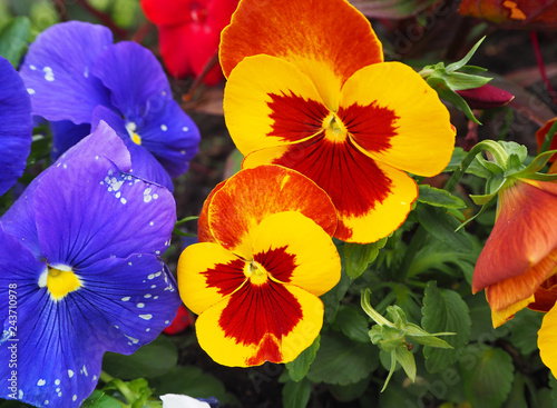 Fotografia, Obraz  Pansy flower yellow, orange, red and purple with green leaves
