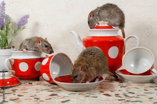 Photo  Close-up three rats (Rattus norvegicus) on countertop at kitchen