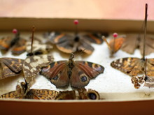 Butterfly Collection. Butterflies Pinned With Pins. Macrophotography.