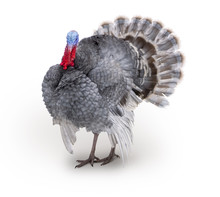 Turkey Isolated On The White Background Gray, Blue