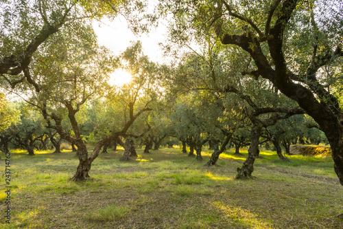 Fototapeta Greece, Zakynthos, Sunlight shining through mystic olive tree grove