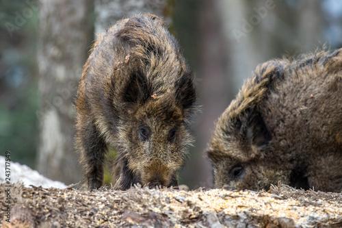 Fototapeta Młode dziki w lesie. obraz