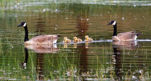 Two Canadian Geese With Three Goslings, Canada