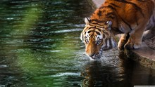 Tiger Drinking Water, India