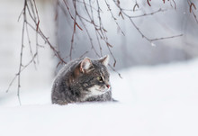 Cute Striped Cat Sitting In A White Snowdrift In The Winter Garden And Looking Into The Distance Fluff Fur