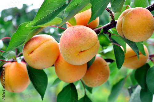 Fotografiet branch of the ripe apricots in the orchard