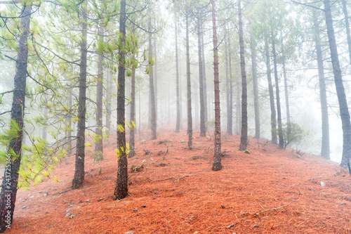 Foto  Foggy pine forest at red slopes with stones. Nature landscape