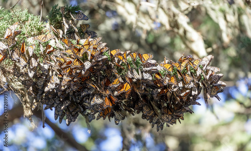 Fotografie, Obraz  Cluster of Monarch Butterflies keeping warm during winter migration