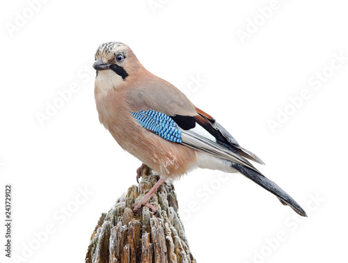 Eurasian jay isolated on white. (Garrulus glandarius) - 243729122