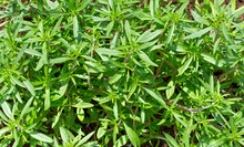 Fresh Green Savory Plant. Summer Savory Background
