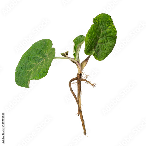 Foto Leaves and root of burdock root (Arctium lappa) isolated on white