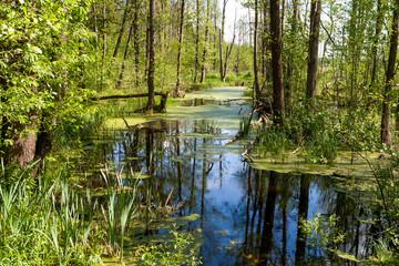 Białowieski Park Narodowy, las pierwotny, podmokły teren, martwe drzewa.