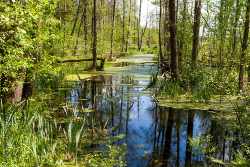 Białowieski Park Narodowy, las pierwotny, podmokły teren, martwe drzewa. - fototapety na wymiar