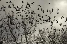 Starlings In Trees