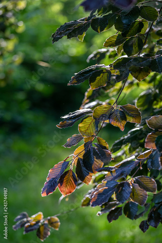 Beech tree leaves with sunlight at springtime