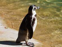Manchots De Humboldt (Spheniscus Humboldti), Oiseaux Marins De L'hémisphère Austral