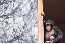 Singe Chimpanzé Domestiqué Assis à Une Fenêtre