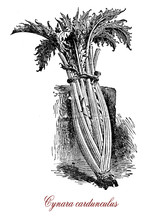 Vintage Engraving Of Cardoon, Edible Herbaceous Perennial  Plant Of The Sunflower Family With Spiny Leaves And Violet-purple Flowers, Native To Mediterranean