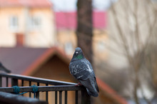 Spotted Dove Sits On A Fence