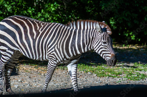 Fotografie, Obraz  Black and white striped live zebra in the zoo walks