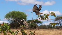 African Grey Hornbill, Tockus ...