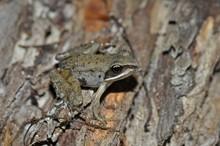 Wood Frog Posing Up Close On Log