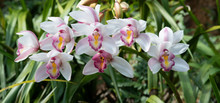 Cymbidium Orchid, Orissa Christmas Tree, Orchid Family