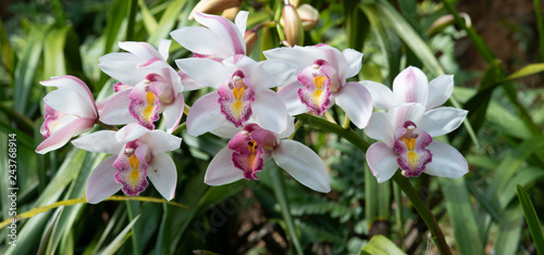 Foto auf AluDibond Orchideen Cymbidium orchid, Orissa Christmas tree, Orchid family