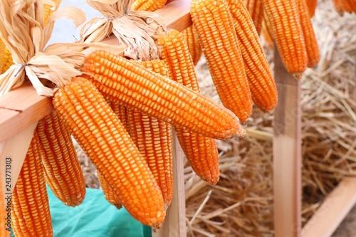 Dry cob corn hanging