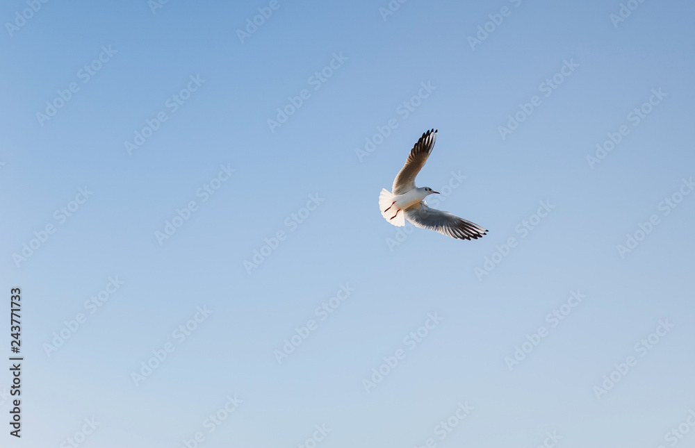 A seagull is flying on the clear blue sky background. The bird spread its wings.