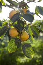 Persimmon Branch In The Sun