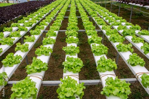 Fotografie, Obraz  Hydroponics,Organic fresh farme,Organic fresh harvested vegetables,Farmers looking fresh vegetables