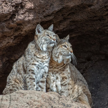 Two Very Alert Bobcats On A Ledge