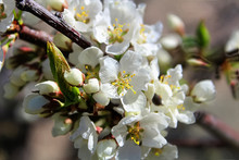 The Closeup View Of Plum Blossoms In The Spring