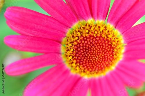 アップのピンク色のマーガレット