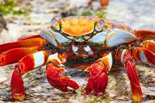 Sally Lightfoot Crab In Galapa...