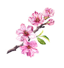 Flowering Cherry Tree. Pink Ap...