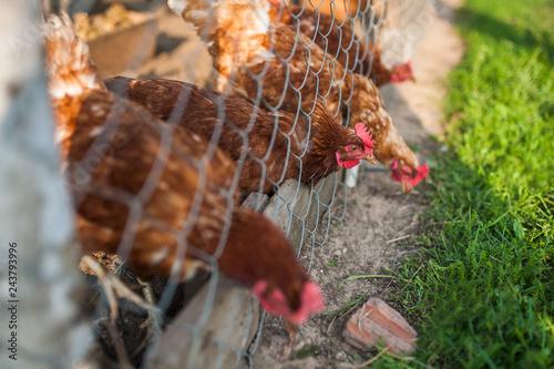 Fotografie, Obraz  Chickens in the cage