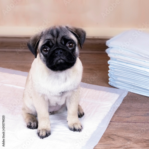 Canvas Print Puppy on absorbent litter,   accustom the dog to the toilet