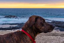 Brown Brindle Hound Dog On Bea...