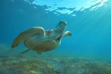 Green Sea Turtle (Chelonia Mydas) Swim To Surface Of Water, Red Sea, Marsa Alam, Abu Dabab, Egypt, Africa