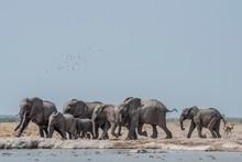 African Bush Elephants Running In Nxai Pan National Park