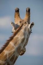 Giraffe (Giraffa Camelopardalis) From Behind, Portait, Nxai Pan National Park, Ngamiland District, Botswana, Africa