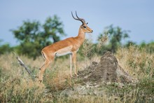 Impala (Aepyceros Melampus), Buck On The Lookout, Peter's Pan, Savuti, Chobe National Park, Chobe District, Botswana, Africa