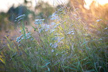 Summer Background, Summer Mood, Blooming Yarrow In The Rays Of The Setting Sun