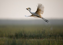 Flying With Catch-Great Egret (Ardea Alba)